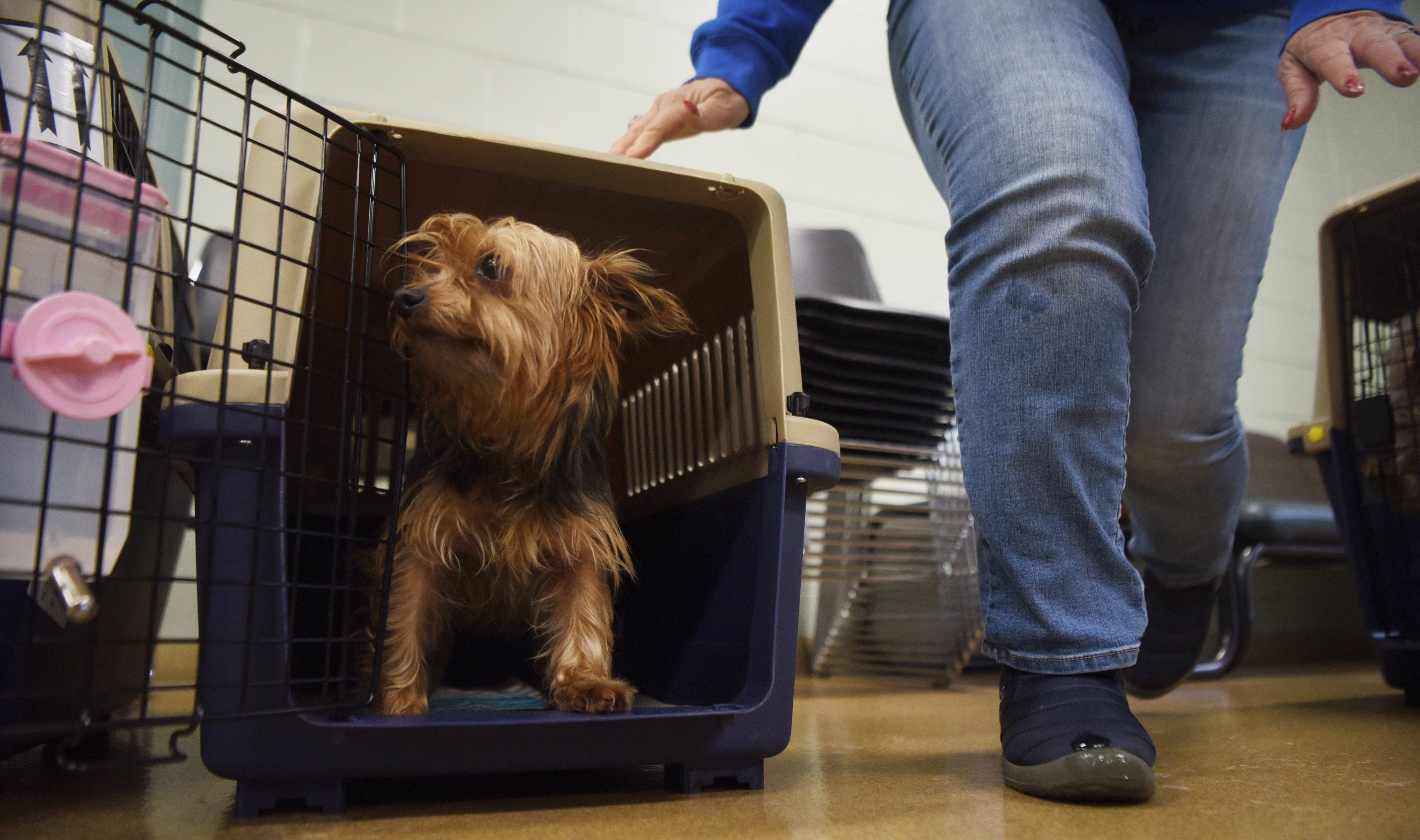A Yorkie rescued from a dog meat farm in South Korea is now under the care of a Hillside-based Magnificent Mutts & Meows Rescue.