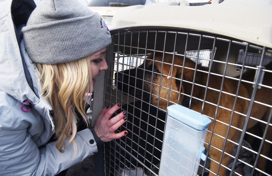 "At the Elmhurst Animal Care Center Tuesday, Ashley Feck, of Huntley-based Animal House Shelter, greets a rescued dog rescued from the dog meat farm in South Korea. ""It's such a relief because there's a lot of anxiety that goes along with this and just making sure that everything goes off without a hitch,"" Feck said.."