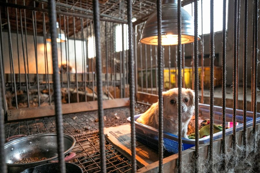 A mother dog inside a puppy mill is shown locked in a cage at a dog meat farm in Hongseong-gun, South Korea, on Jan. 10.