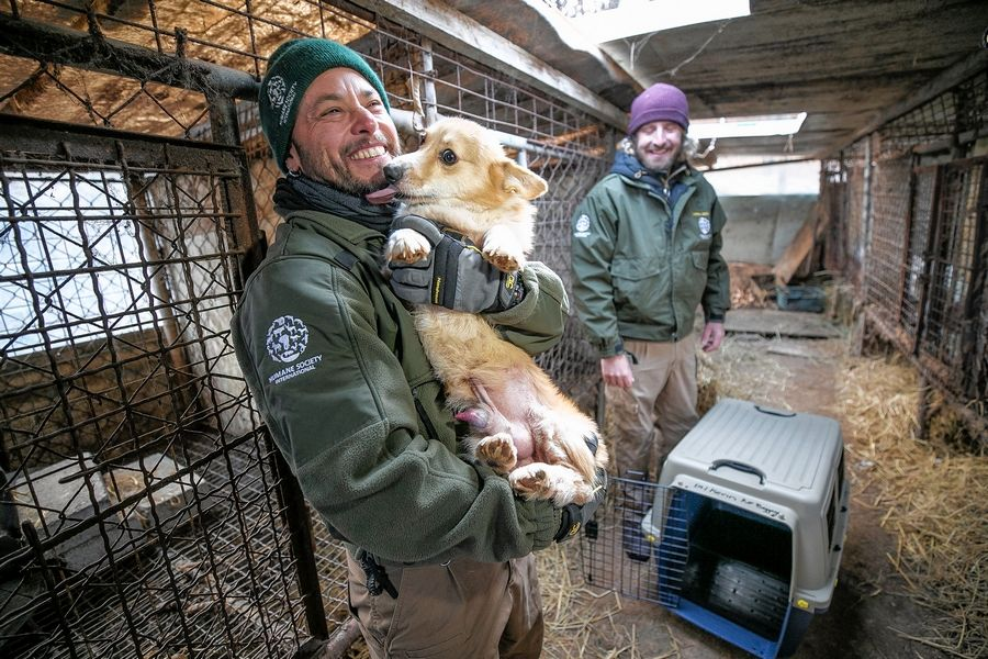 The HSI Animal Rescue Team rescues a dog at a dog meat farm in Hongseong-gun, South Korea, on Feb. 13
