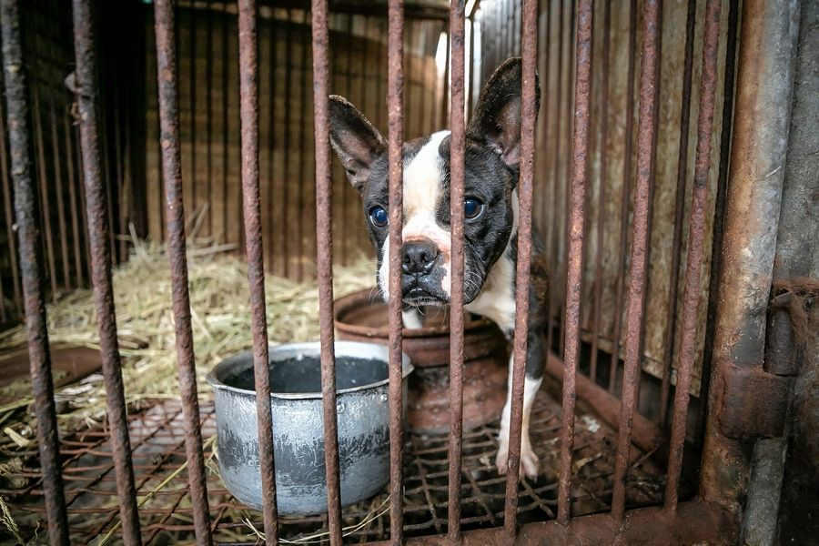 A dog is shown locked in a cage at a dog meat farm in Hongseong-gun, South Korea, on Jan. 11.