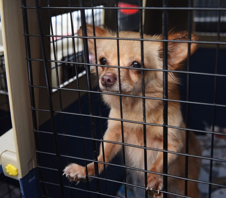 One of the 64 dogs saved from a dog meat farm in South Korea watches from its kennel shortly after arriving from Canada to the Elmhurst Animal Care Center Tuesday.