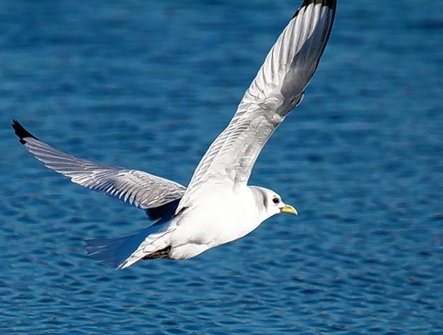 This black-legged kittiwake at Whalon Lake entertained birders for several days in early January.