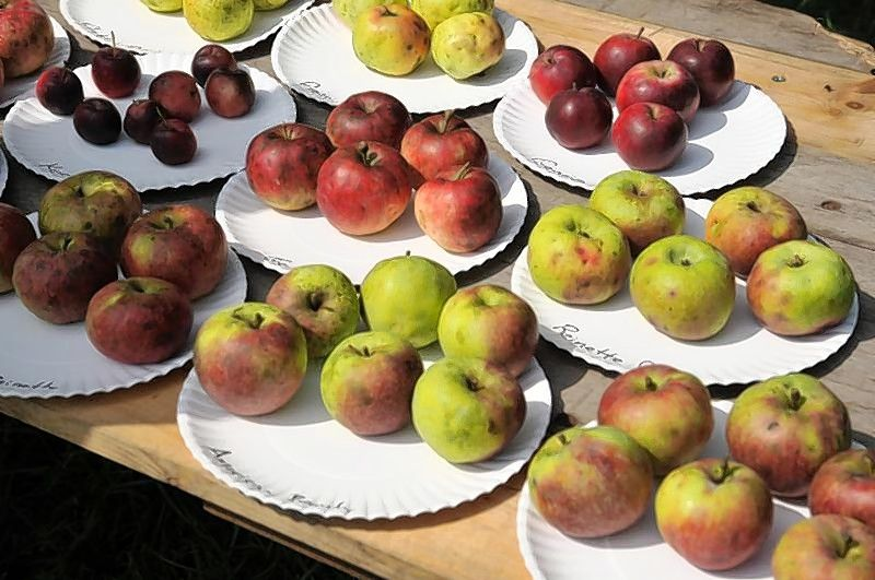 Learn how the perfect grocery store apple is a pale shadow of what an apple is supposed to be during the annual Antique Apple Tree Grafting Seminar on Sunday, March 17, at Garfield Farm Museum in Campton Hills.