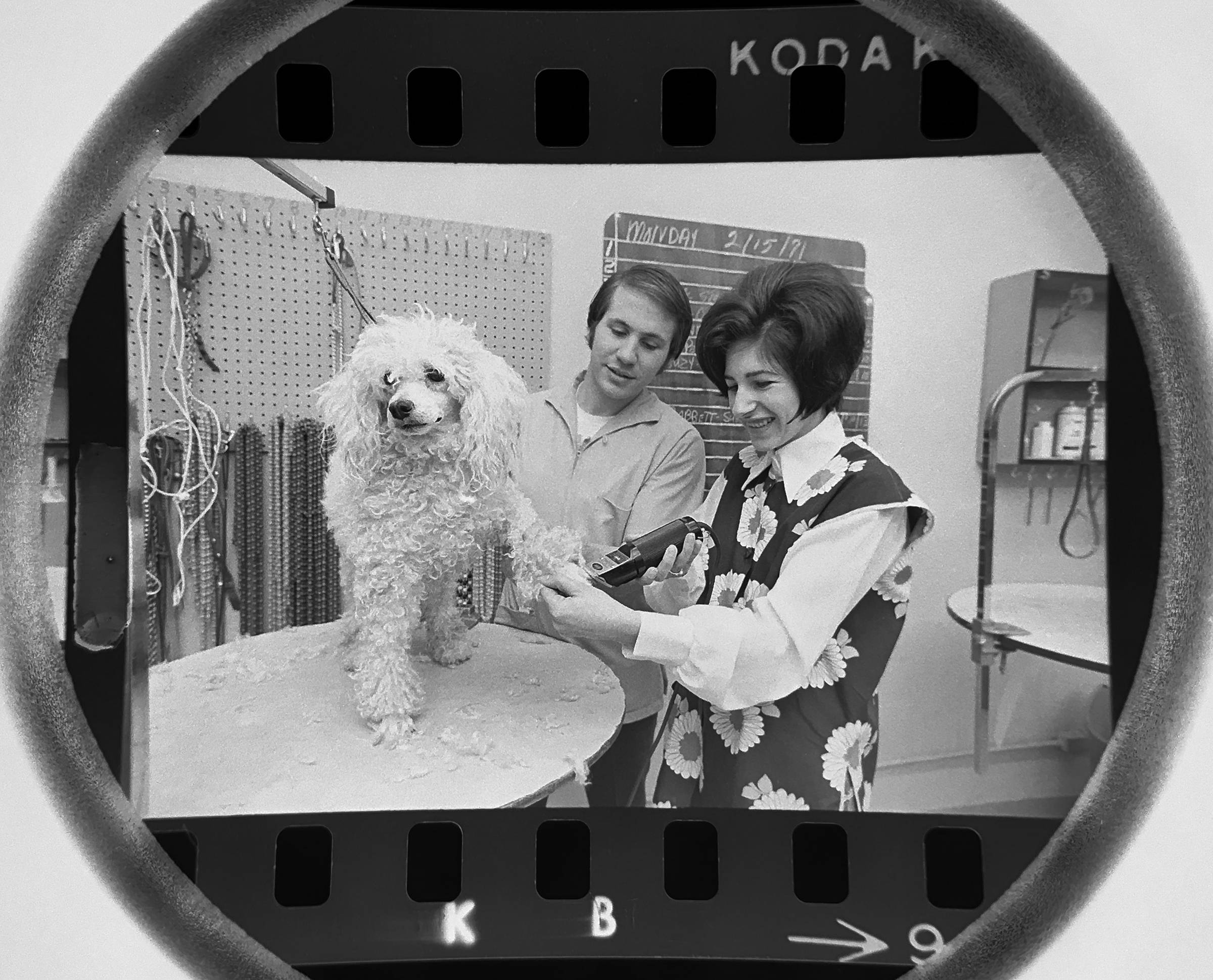 The Daily Herald Archives, Assignment 20,674, Tom Grieger photo: A poodle grooming training school in Skokie in February of 1971.