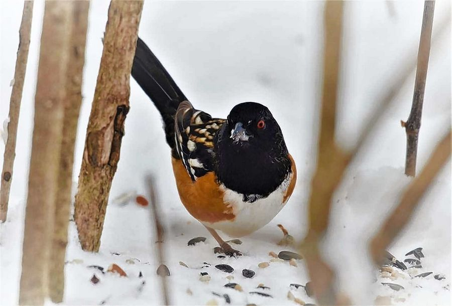 Warrenville resident Kate Hopkins first noticed this spotted towhee, a western species, under her feeder on Jan. 21. In mid-March the bird was still visiting.