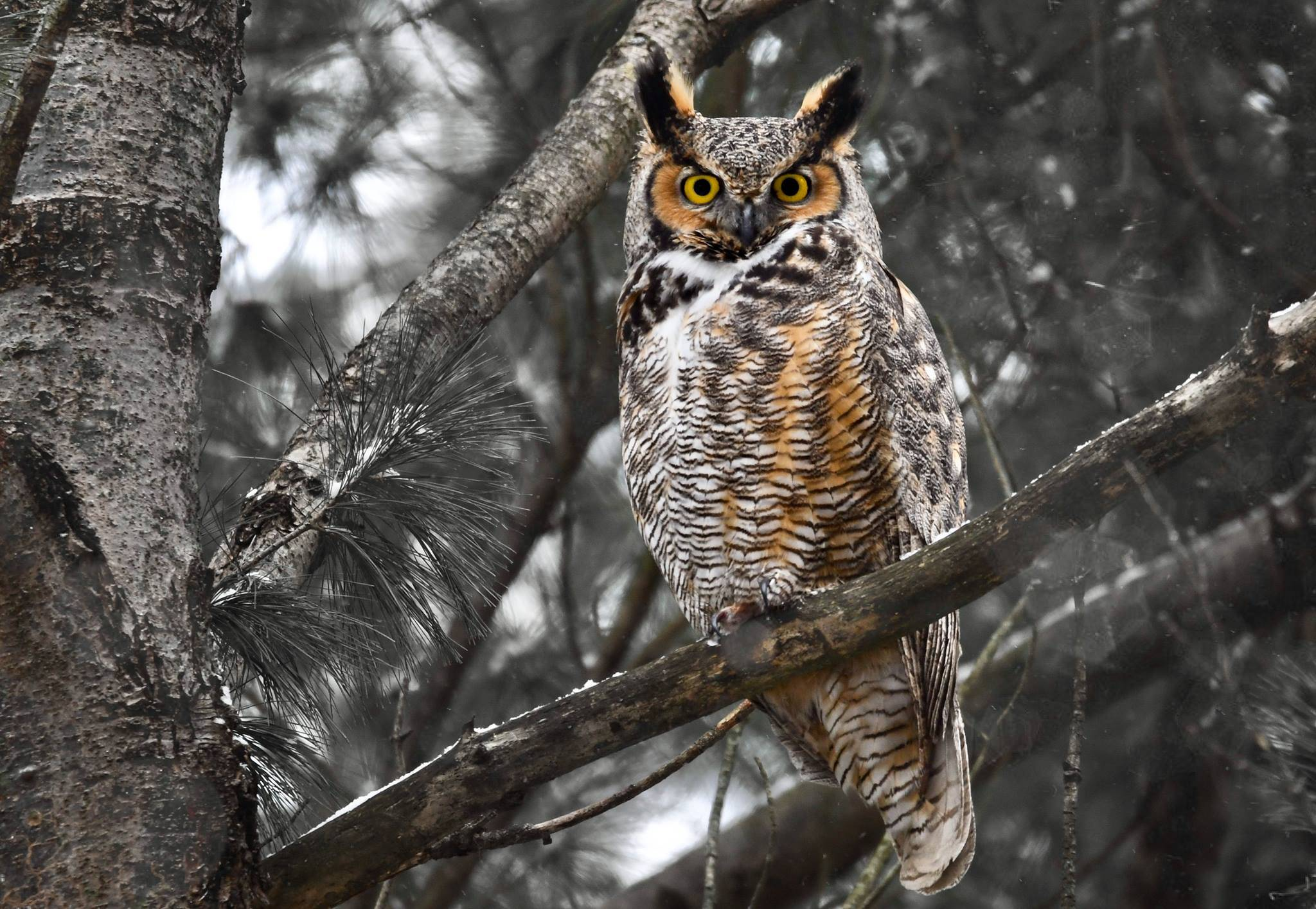 A Great horned owl looks out from a tree in McHenry.