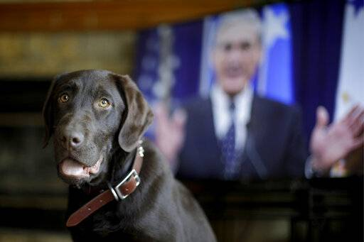 "Alicia Barnett's Chocolate Labrador Retriever named ""Mueller"" waits for a treat in their Kansas City, Kan., home on March 11, 2019. Barnett named the puppy in honor of special prosecutor Robert Mueller, shown on the television in the background, because the dog seemed strong, quiet, and a bit mysterious. (AP Photo/Charlie Riedel)"