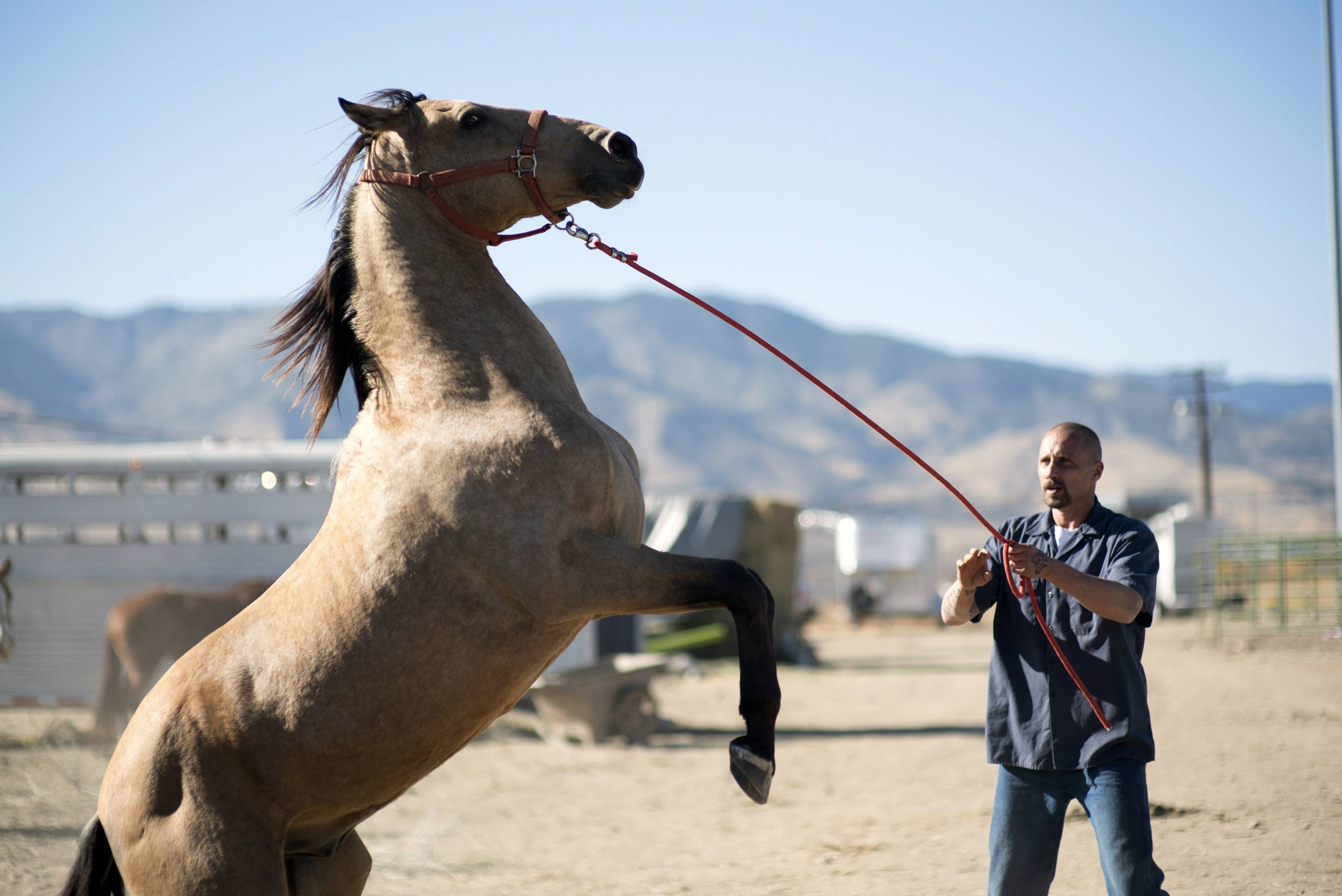 "A prison inmate (Matthias Schoenaerts) works to tame a wild horse in ""The Mustang."""