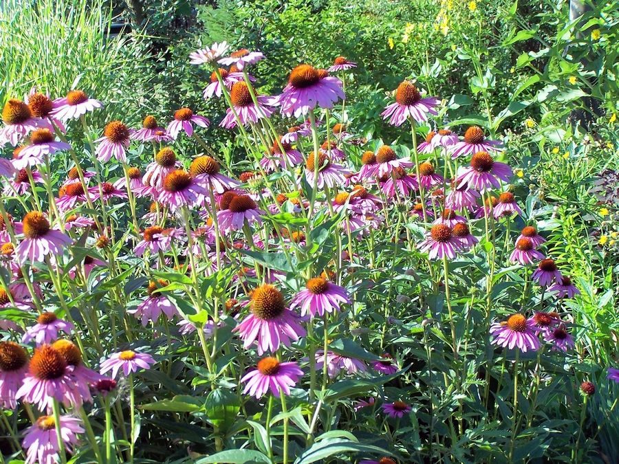 Magnus is a cultivar of our native coneflower.