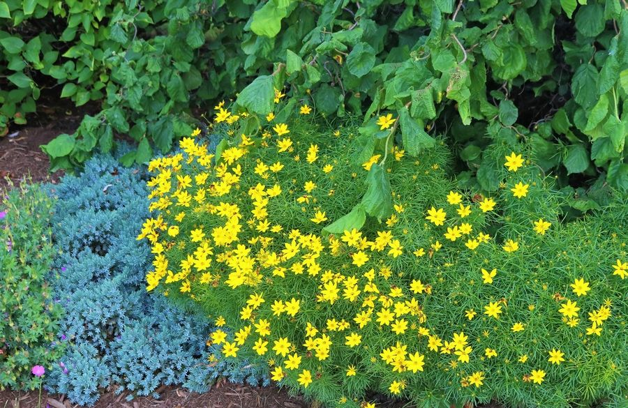Zagreb, from the coreopsis family, boasts daisylike flowers the color of sunshine.