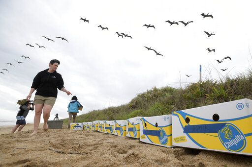 National Aquarium staff member Stehle Harris counts banana boxes containing Kemp's ridley turtles awaiting release Wednesday, March 20, 2019, in New Smyrna Beach, Fla. The turtles became trapped by cooling waters in New England and were rehabilitated before being returned to the warmer waters of Florida.