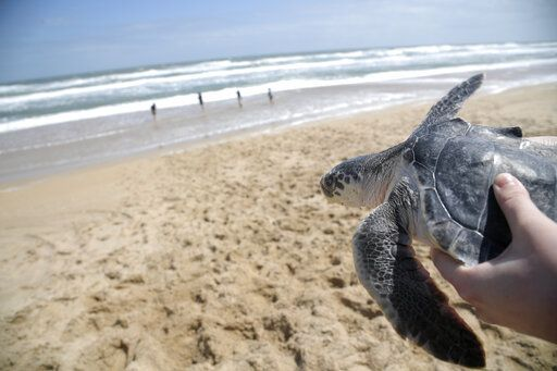 A Kemp's ridley turtle is carried to the waters of the Atlantic Ocean during a turtle release by staff members of the National Aquarium Wednesday, March 20, 2019, in New Smyrna Beach, Fla. The turtles became trapped by cooling waters in New England and were rehabilitated before being returned to the warmer waters of Florida.