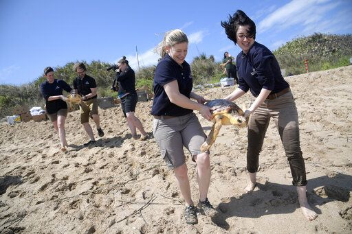 National Aquarium staff members Stehle Harris, left, Scott Perich, second from left, Nicole Guyton and Ellen Dickinson, right, carry loggerhead turtles to the waters of the Atlantic Ocean during a release of 36 turtles Wednesday, March 20, 2019, in New Smyrna Beach, Fla. The turtles became trapped by cooling waters in New England and were rehabilitated before being returned to the warmer waters of Florida.