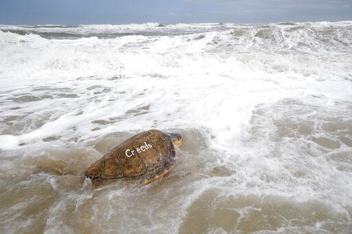 "A loggerhead turtle swims into the Atlantic Ocean during a release of 36 turtles by staff members of the National Aquarium Wednesday, March 20, 2019, in New Smyrna Beach, Fla. ""For me, it's a sense of joy and accomplishment and contributing to conservation being able to put them back out there,� said Kate Shaffer, rehabilitation manager at National Aquarium Baltimore, which coordinated the release with four other groups."