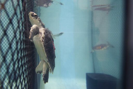 In this Tuesday, March 12, 2019 photo New England Aquarium a Kemp's ridley turtle swims in a tank at a marine animal rehabilitation center near Boston. Some experts think New England's spike in cold-stunned turtles is a climate change story with a twist: the hook-like projection of Cape Cod into the Atlantic helps trap turtles drawn there by warming waters but weakened when the ocean cools down.