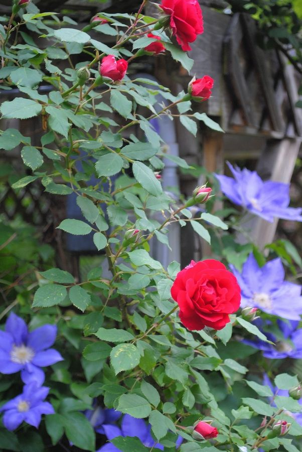 When pruning roses, aim to create an open center so sun and air can circulate through the entire plant.