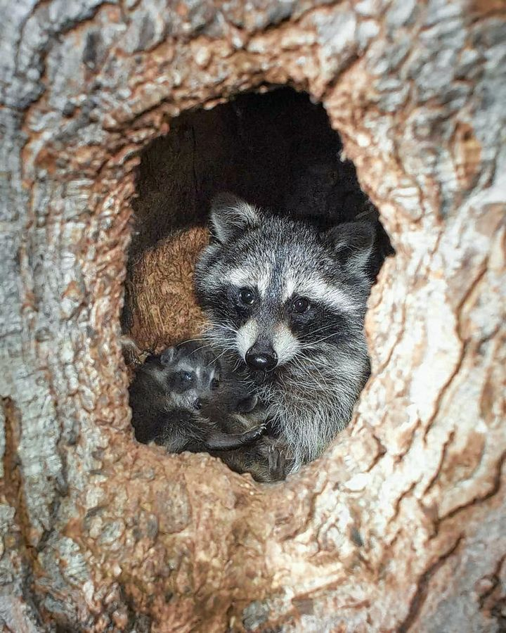 Raccoon mothers may leave their young for brief periods. If you find a raccoon baby alone, it's best to leave it where it is.
