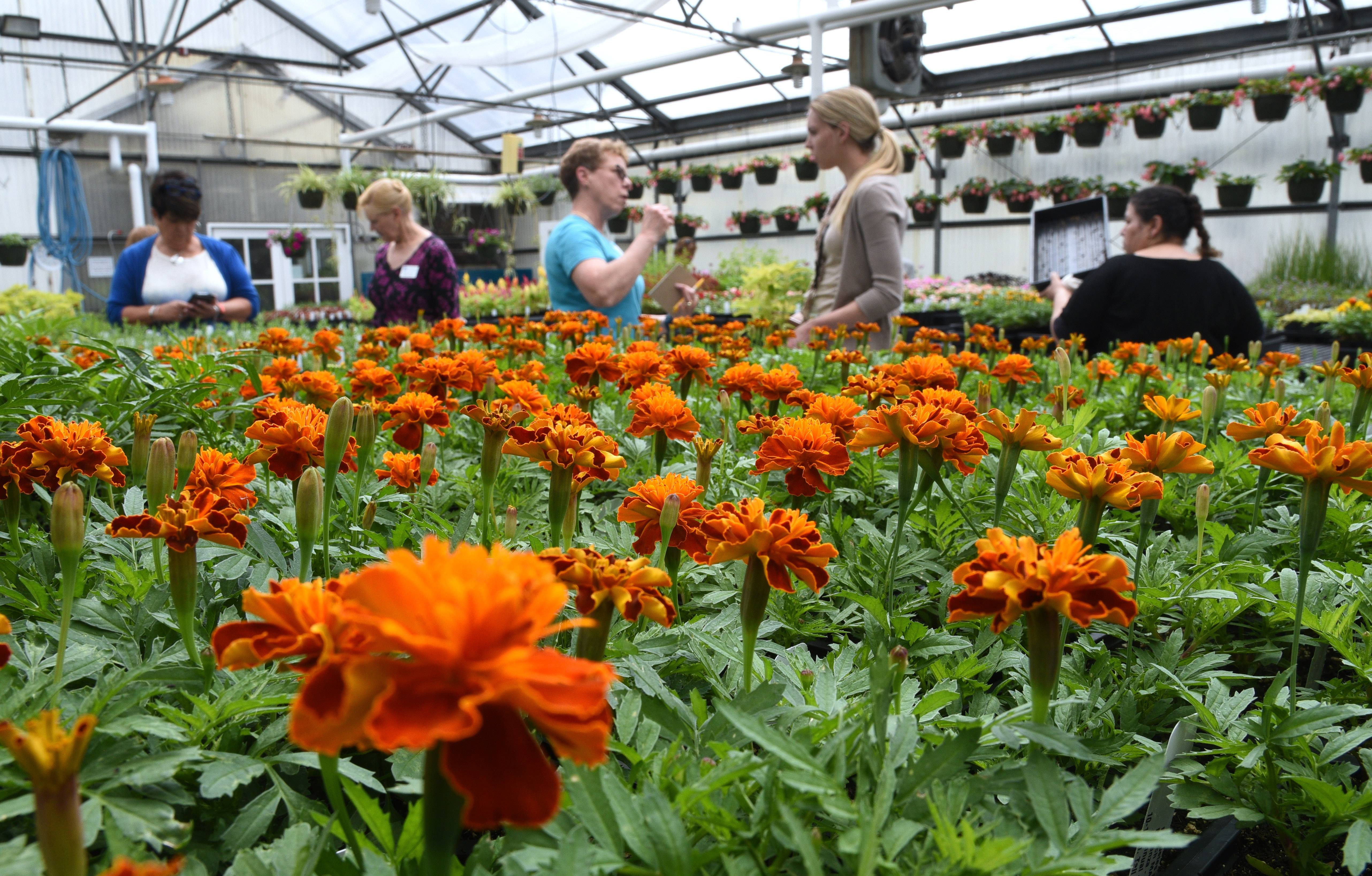 A large selection of French marigolds were on hand at College of Lake County's 2018 Horticulture Plant Sale held at the college's greenhouse at the Grayslake campus. Master gardener and sale volunteer Mary Zorc, center, helps shoppers at the sale. This year's sale takes place May 9-10.