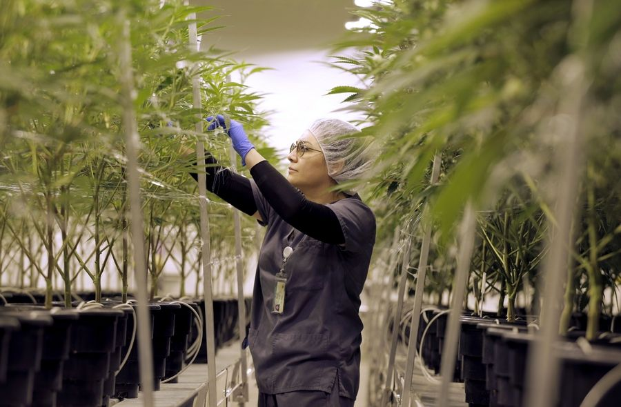 Ericka Hogan, cultivation manager at Illinois Grown Medicine in Elk Grove Village, tends to marijuana plants during a tour of the facility Monday.
