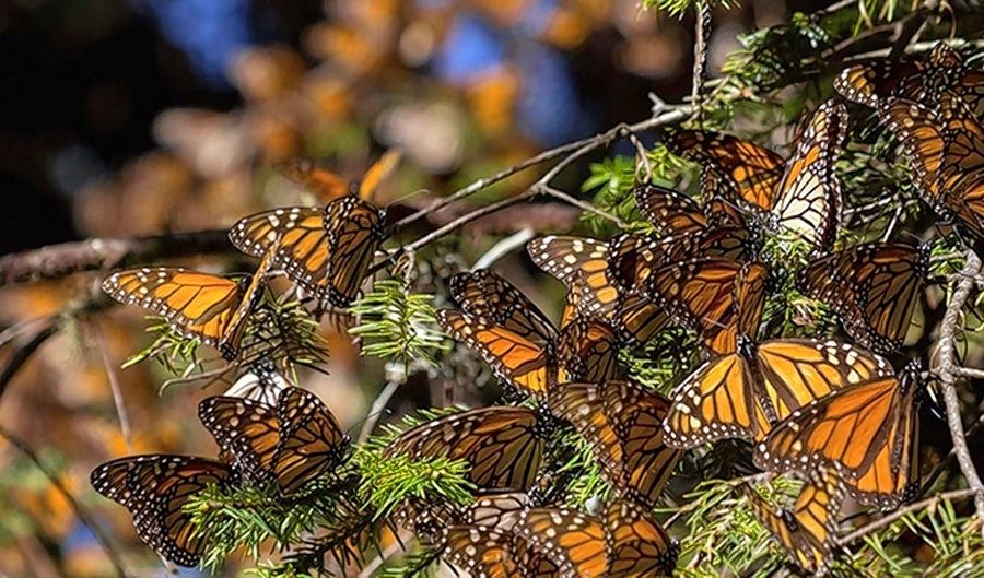 """The Guardians"" documentary profiles an indigenous community in the mountains of Michoacan, Mexico, trying to restore the oyamel fir trees for monarch butterflies."