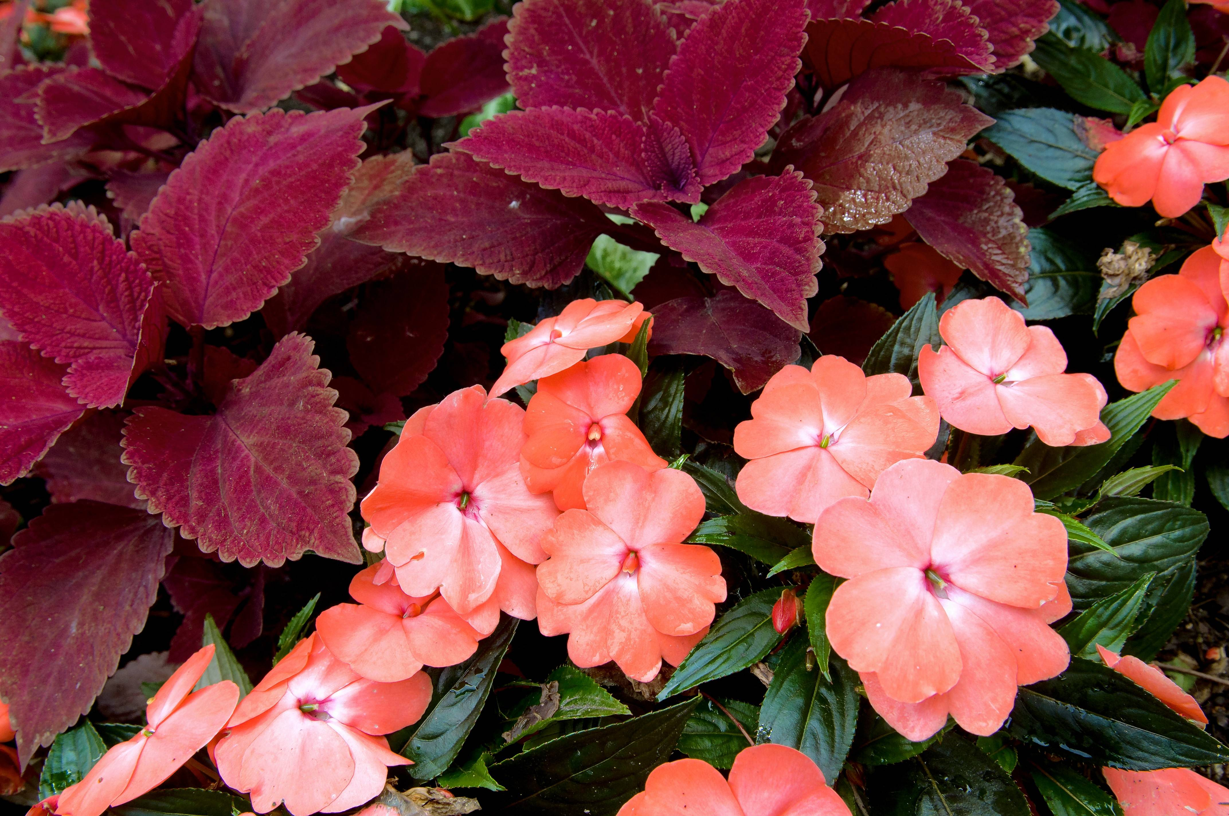 Impatiens and coleus may be badly damaged by a cold spell, so plant them later in May.