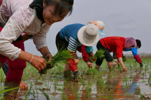 "In this May 17, 2019, photo, North Korean farmers plant rice seedlings in a field at the Sambong Cooperative Farm, South Pyongan Province, North Korea. North Korean state media said last week that 54.4 millimeters (2.1 inches) of rain fell in the first five months of 2019, which it said represented the lowest level since 1982. U.N. food agencies said earlier this month that about 10 million people were facing ""severe food shortages"" after one of the North's worst harvests in a decade. (AP Photos/APTN)"