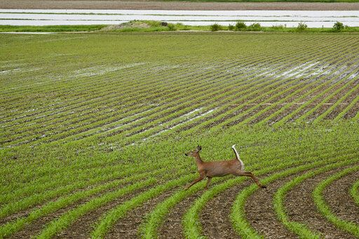 In this May 29, 2019 photo, a deer runs through a field which is partially flooded near Anderson, Iowa. Thousands of Midwest farmers are trying to make decisions as they endure a spring like no other. It started with a continuation of poor prices for corn and soybeans that fell even further as tariffs imposed by the U.S. and China ratcheted higher. Next came flooding from melting snow followed by day after day of torrential rains that made planting impossible or flooded fields where plants were just starting to emerge.