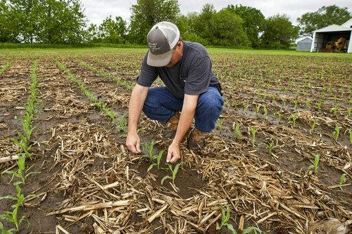 In this May 29, 2019 photo, Jeff Jorgenson examines young corn plants on a partially flooded field he farms near Shenandoah, Iowa. About a quarter of his land was lost this year to Missouri River flooding, and much of his remaining property has been inundated with heavy rain and water from the neighboring Nishnabotna River.