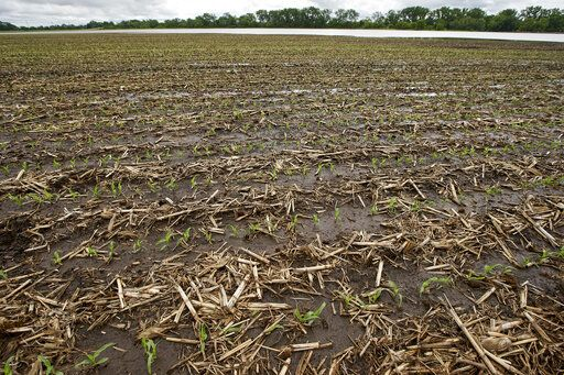 In this May 29, 2019 photo, young corn grows in a flooded field near Shenandoah, Iowa. Thousands of Midwest farmers are trying to make decisions as they endure a spring like no other. It started with a continuation of poor prices for corn and soybeans that fell even further as tariffs imposed by the U.S. and China ratcheted higher. Next came flooding from melting snow followed by day after day of torrential rains that made planting impossible or flooded fields where plants were just starting to emerge.
