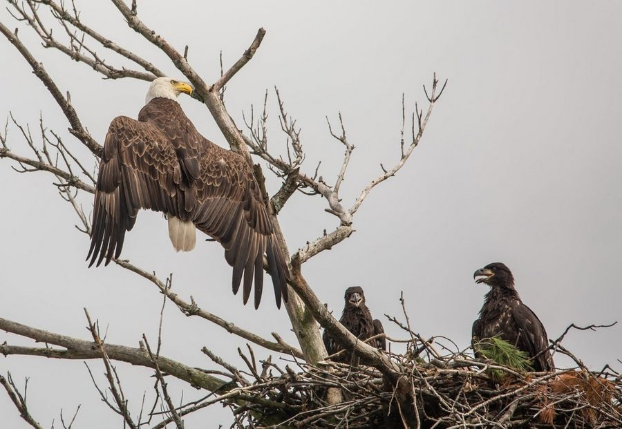 The surviving adult eagle, believed to be the male, keeps watch over the eaglets in their nest on the Mooseheart campus in North Aurora after another adult eagle -- thought to be the female -- was struck and killed by a car Wednesday.