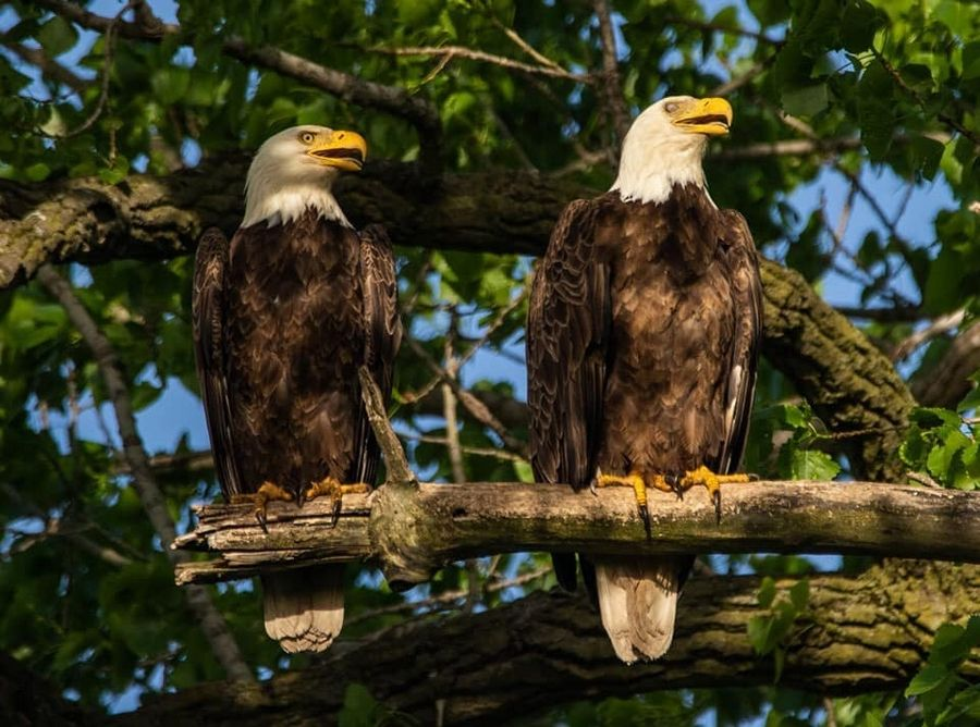The bald eagles were seen earlier this year near the Mooseheart campus in North Aurora. One of them was killed when it was struck by a car Wednesday.