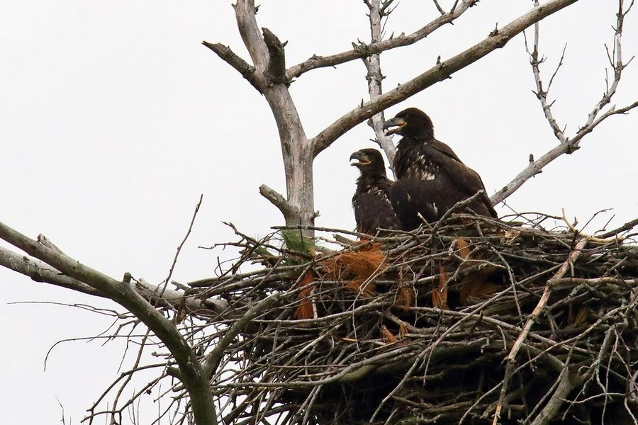 U.S. Fish and Wildlife Service officials say the eaglets in the nest near the Mooseheart campus are close to flying, so there's no reason to remove them from the nest after one of their parents was killed by a car.