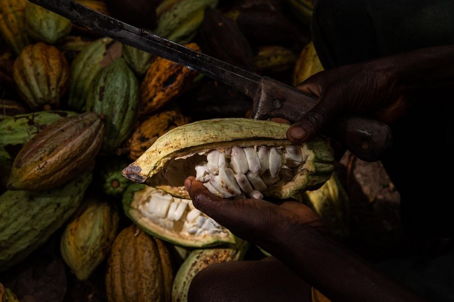 A worker cuts a cocoa pod to collect the beans.