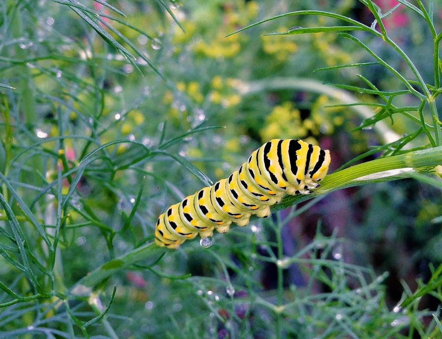 Be careful when using pesticides so caterpillars, like this one of a Swallowtail butterfly, aren't harmed.
