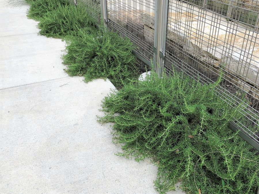 In warmer climates rosemary grows to soften the edges of sidewalks.