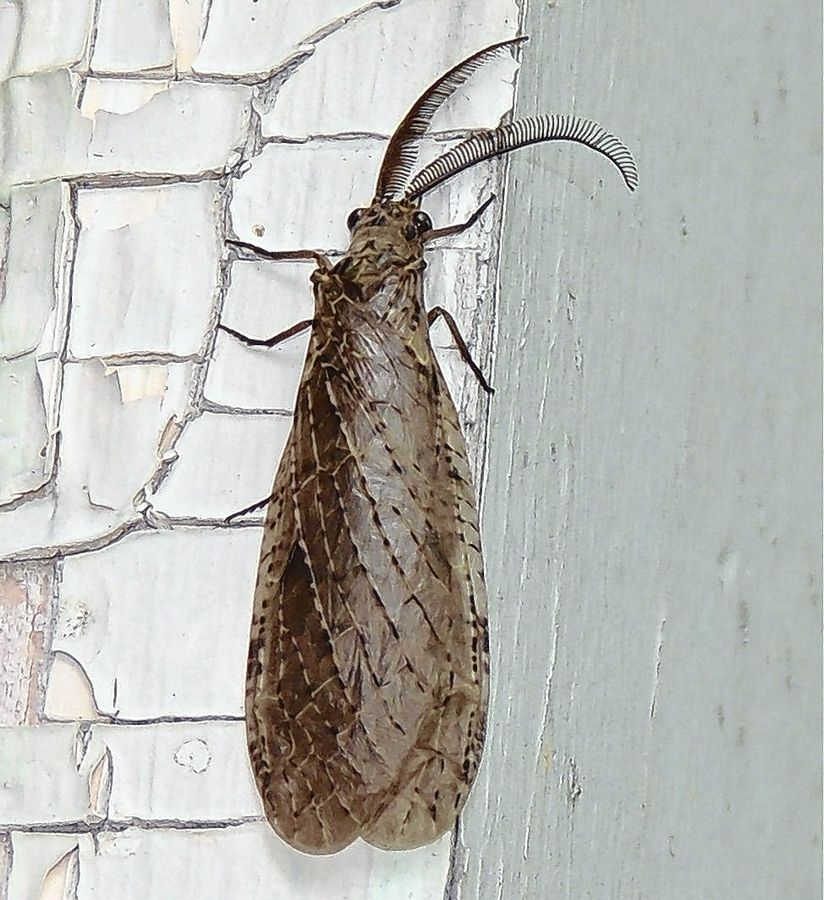 The dobsonfly has a cylindrical body and feathery antennae. A female is shown here.