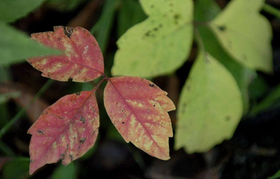 Poison ivy leaves can turn red in the fall.