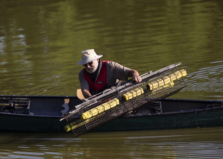"""Alligator Bob,"" an animal expert with the Chicago Herpetological Society, sets alligator traps Wednesday in Humboldt Park Lagoon."