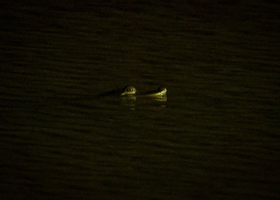 An alligator is spotted swimming in Humboldt Park Lagoon early Wednesday.