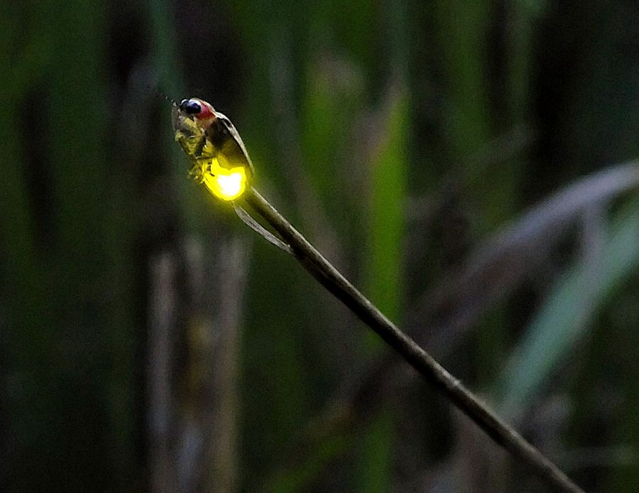 "McHenry County Conservation District will offer a variety of summer programs including ""Fantastic Fireflies"" on Friday, July 19."