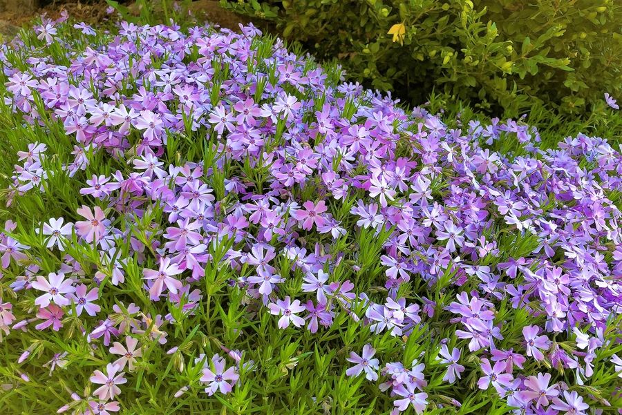 Phlox subulata is covered with flowers in spring.
