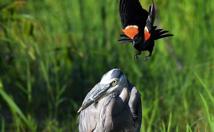 Red-winged blackbird attacking a great blue heron in Batavia.