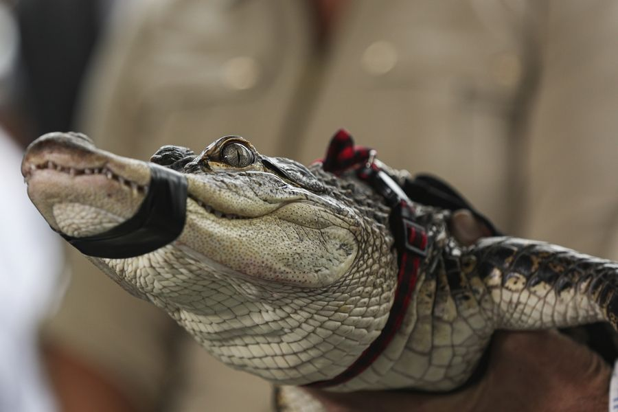 Florida alligator expert Frank Robb holds an alligator during a news conference, Tuesday, July 16, 2019, in Chicago. Robb captured the elusive alligator in a public lagoon at Humboldt Park early Tuesday.