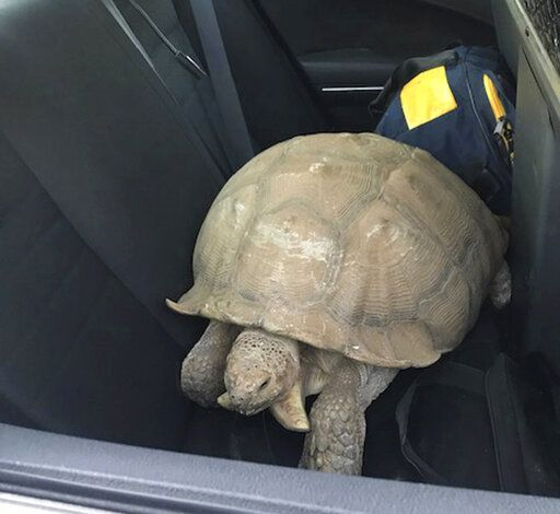 This Sunday, July 14, 2019, photo provided by the California Highway Patrol shows a 250-pound tortoise in a patrol car that officers rescued after it wandered away from its home and was spotted on the shoulder of a road in Santa Ynez, Calif., about 100 miles (161 kilometers) northwest of Los Angeles. The CHP says it got a call about the big reptile Sunday evening, located the owners, put the tortoise in the patrol car and delivered it to them about two hours later. (California Highway Patrol via AP)