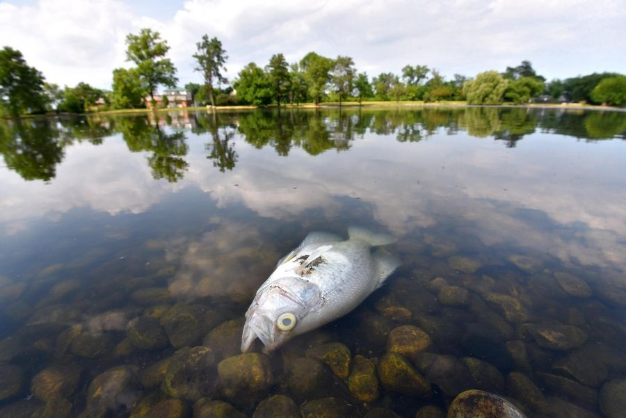 "A dead fish surfaces in the Lombard Lagoon. ""While summer fish kills occur in nature, it is still disconcerting to the park district and our park users,"" officials said in a statement."