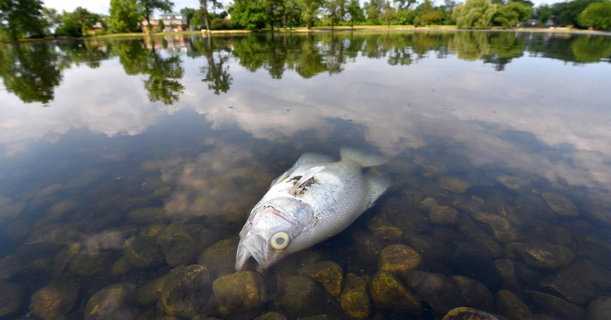 Heat Likely The Cause Of Hundreds Of Dead Fish At Lombard Lagoon