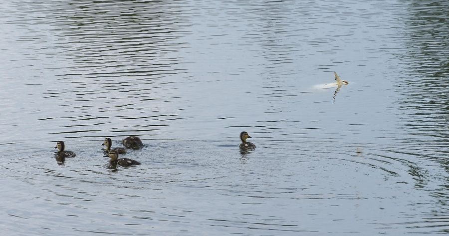 Ducklings paddle near a large dead fish at the Lombard Lagoon along Marcus Drive in Lombard.
