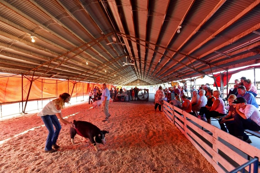 A small crowd stays out of the sun and watches hog judging Thursday at the Kane County Fair in St. Charles.