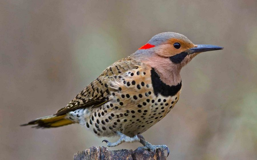 The northern flicker eats ants and is more likely to be seen on or near the ground.